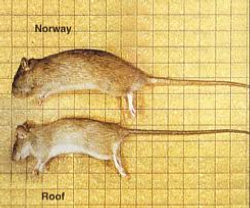 San Diego Eradicate Home Rodents By Hydrex Pest Control Co